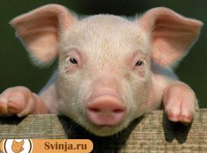 сонник свинья 1