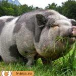 Черно белые свиньи