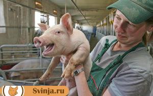 чумка у свиней 2