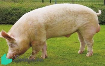 эстонская беконная свинья