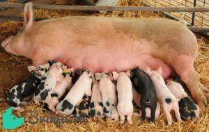 Свинья после опороса