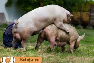 Беременность свиньи 1