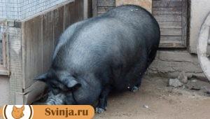 Беременность свиньи 2