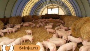 откорм свиней 4