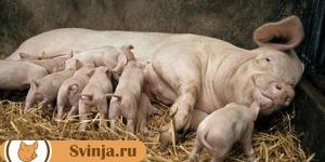 свиноматка 2