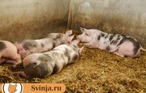 свинье не ест 2