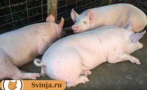 свинье не ест 4