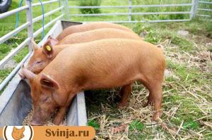 свинье не ест 5
