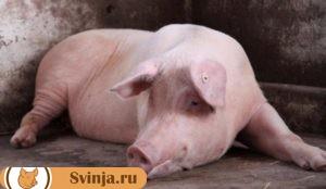 свинья упала 1