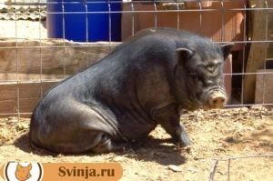 свинья упала 2