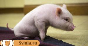 свинья упала 4