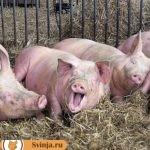 Содержание свиней в хозяйстве: особенности и правила