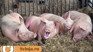 содержание свиней 1