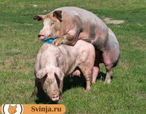Правила спаривания свиней
