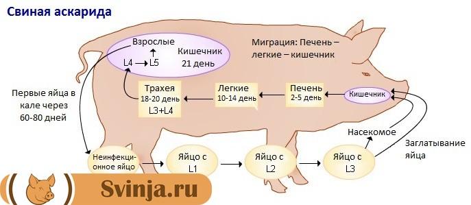 Сроки развития свиной аскариды