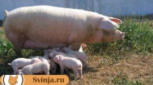свиноматка с поросятами породы ландрас