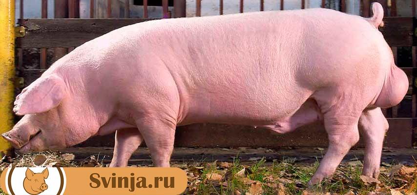 крупная мясная порода свиней