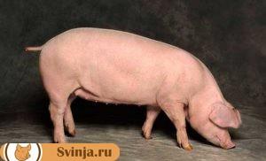 Свиньи породы Ландрас, мясная