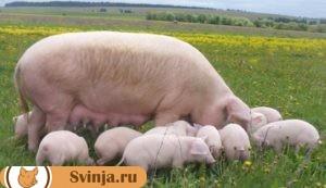 изначально стоит завести до 20 голов свиней