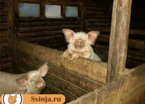 бюджетный свинарник
