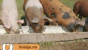 рацион свиньи