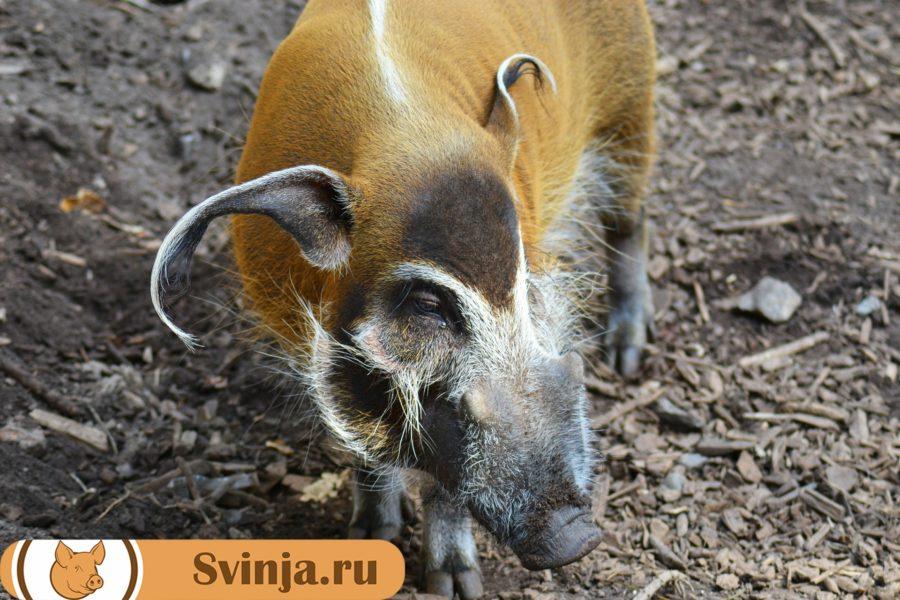 африканская порода свиней