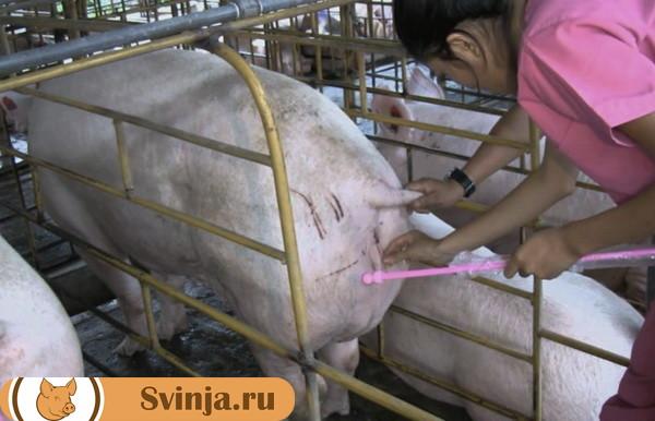 Искусственное осеменение свиней
