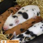 Какие бывают подстилки для свиней