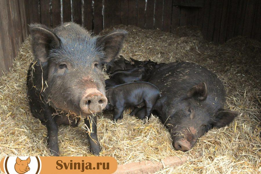 Свиньи Кармалы