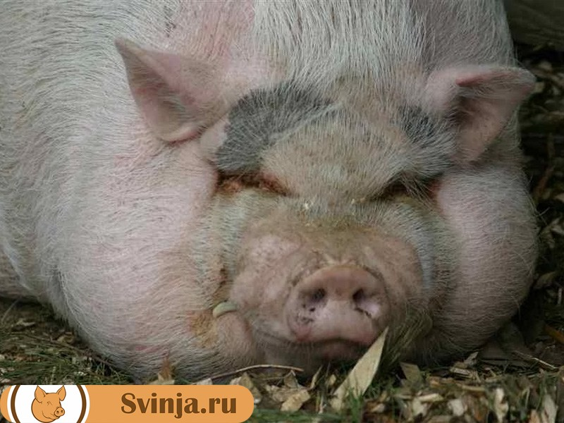 salnye-porody-svinej