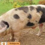 Ливенская порода свиней: история создания