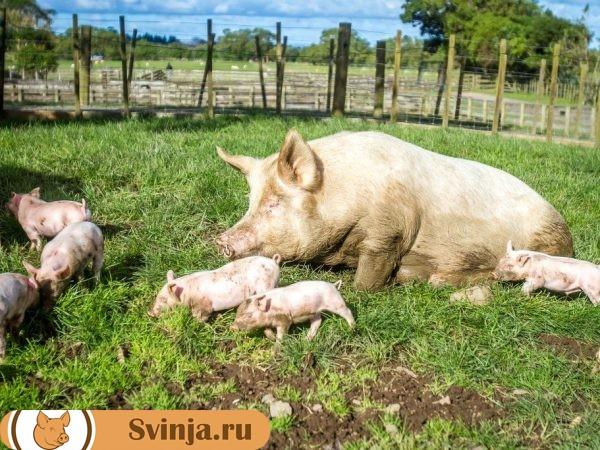 Язва желудка свиней