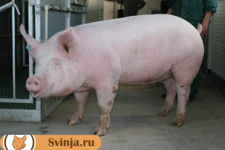 Брейтовские свиньи