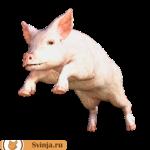 Развитие свиноводства на приусадебном участке